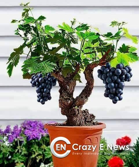 Amazing Bonsai Fruit Trees