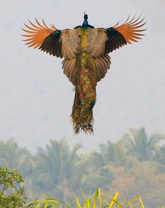 A rare image of a flying peacock and ...,