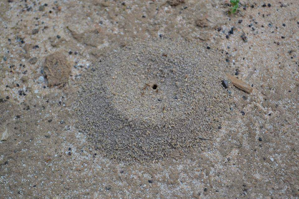 Soil builders : 1  Pyramid ants in sandy soils