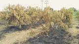 మామిడి తోటలో మంటలు చెలరేగాయి